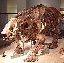 Paramylodon fossil at Texas Memorial Museum.jpg