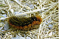 Parasemia.plantaginis.caterpillar.jpg