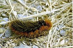 240px parasemia.plantaginis.caterpillar