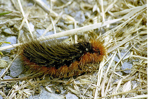 500px parasemia.plantaginis.caterpillar