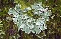 Parmelia sulcata (49955379316).jpg