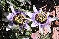 Passiflora caerulea pm.jpg
