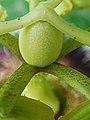 Passiflora edulis-Ovary 01.jpg
