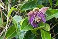 Passiflora laurifolia.jpg
