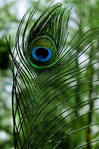 Peafowl (Peacock) Feather.jpg