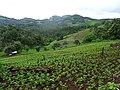 Peanuts field in Pang Mapha District 1.jpg
