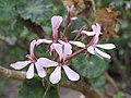 Pelargonium zonale Flipphi 1.jpg