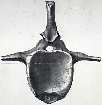 Pelorosaurus - BMNH R28633, one of nine caudal vertebrae in 1853 referred by Owen to P. conybeari