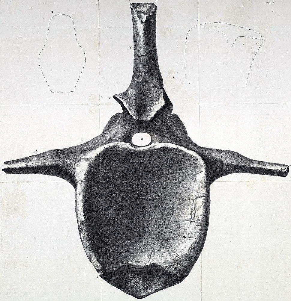 Pelorosaurus conybeari