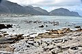 Penguin colony in Hermanus 26.jpg