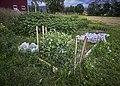 PermaLiv grønnsakshage 13-07-20.jpg