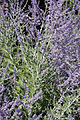 Perovskia atriplicifolia 2011.08.05.jpg