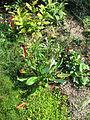 Persicaria griffithii (21585789661).jpg