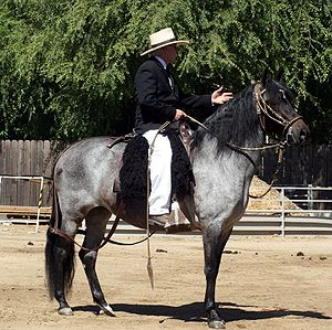 Peruvian Paso - Peruvian Paso in traditional equipment