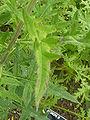 Phacelia tanacetifolia (Boraginaceae) leaves.JPG