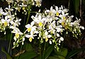 Phalaenopsis equestris f. aurea Orchi 184.jpg