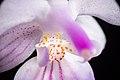 Phalaenopsis lindenii '170302' Loher, J. Orchidées 6 103 (1895) (43330985794).jpg