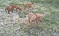 Pharaoh Hound cubs.jpg
