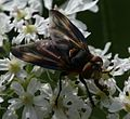 Phasia hemiptera (Shieldbug Fly) - male - Flickr - S. Rae.jpg
