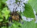 Phasia hemiptera male 02.jpg