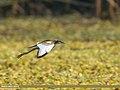 Pheasant-tailed Jacana (Hydrophasianus chirurgus) (27955219999).jpg