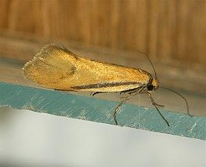 Oecophorinae - Adult of Philobota arabella or a related species, Aranda, Australia