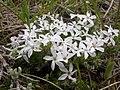 Phlox hoodii flowers (3525615248).jpg