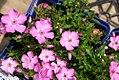 Phlox subulata Emerald Pink 1zz.jpg