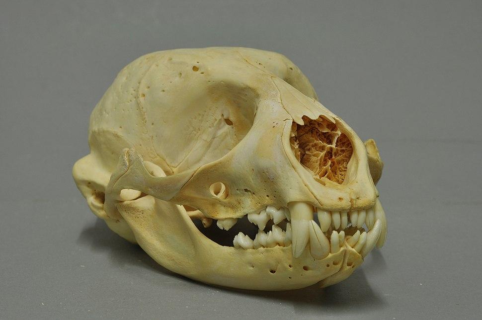 Phoca vitulina 05 MWNH 1464