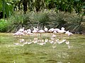 Phoenicopterus minor - flamingo - flamant - 04.jpg
