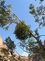Phoradendron juniperinum kz03.jpg