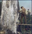 Photograph of a Civilian Conservation Corps (CCC) Man Standing on a Plank on a Tree Trunk with a Drill - NARA - 299306.tif