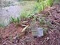 Phylitis scolopendrium Habitus 2010-7-17 JardinBotanicoHoyadePedraza.jpg