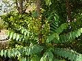 Phyllanthus acidus (2465023400).jpg