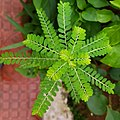 Phyllanthus niruri .jpg