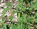 Physalis hederifolia var palmeri 3.jpg