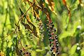 Phytolacca americana Wilderness Park NE.jpg