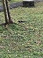 Pica serica in Minsheng Park 20180223.jpg