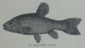 Picture Natural History - No 205 - The Tench.png
