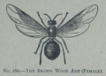 Picture Natural History - No 280 - The Brown Wood Ant.png