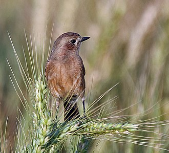 Pied bush chat - Female of race bicolor, India