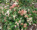 Pieris japonica 9.jpg