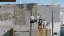 File:Pigeon take off.webm