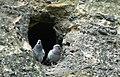 Pigeons in Hostibejk.jpg