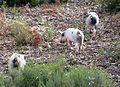 Piglets - Flickr - gailhampshire.jpg