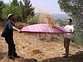 PikiWiki Israel 38213 Throwing wheat .JPG