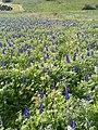 PikiWiki Israel 53527 lupinus pilosus in ramot menashe.jpg