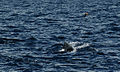 Pilot whale and waved albatross (4202558990).jpg