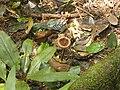 Pilz 1 Nationalpark Tai.jpg