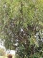 Pinales - Taxus baccata - 7.jpg
